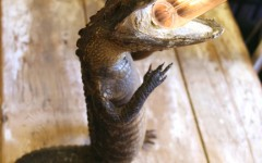 litalligator